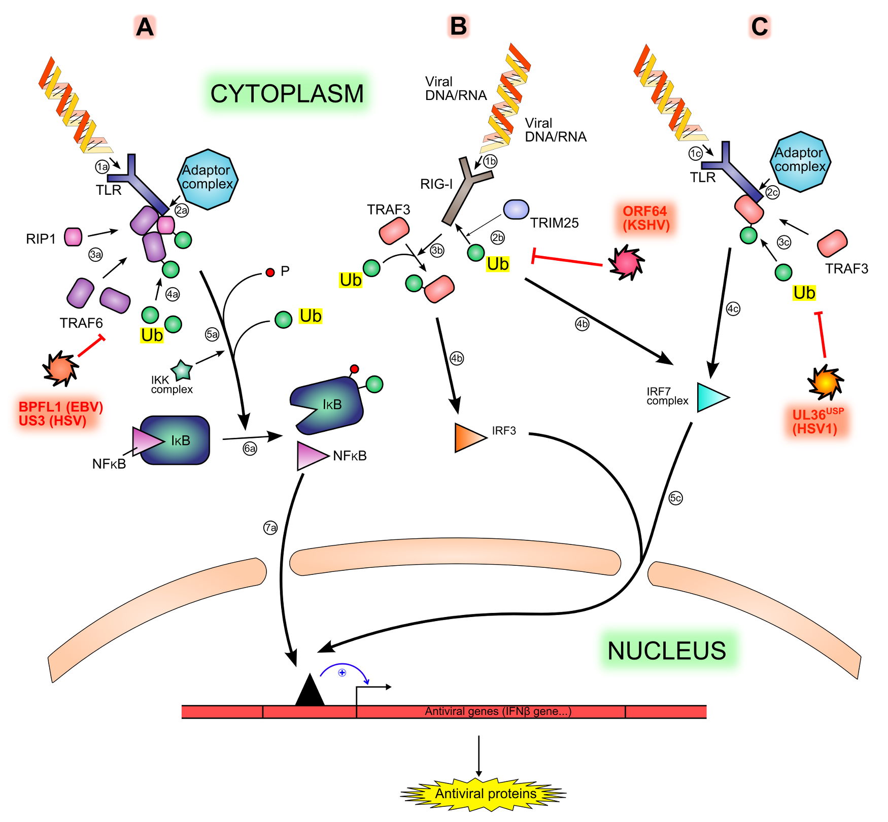 Interferon production signaling pathways and inhibition by viral proteins.