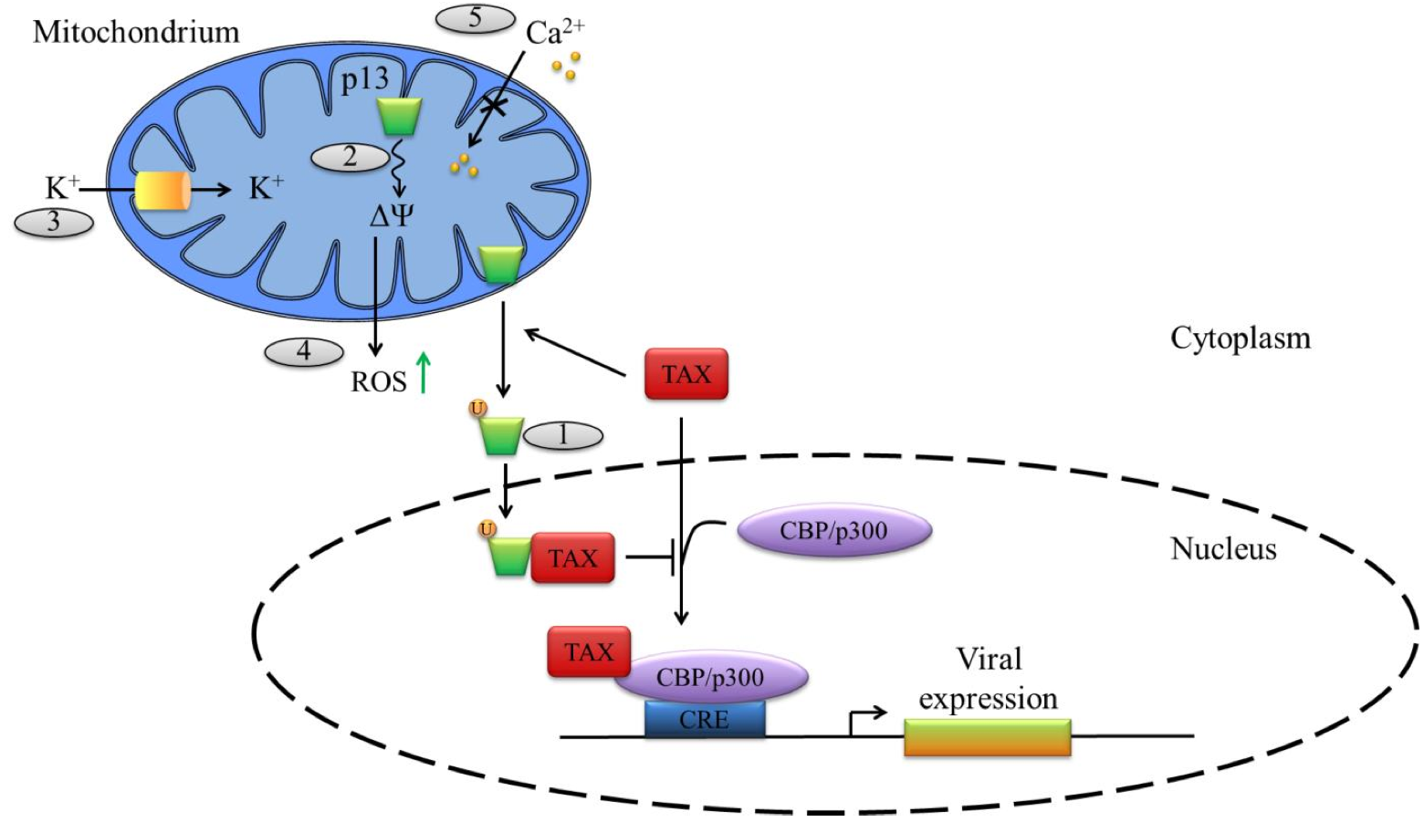 Complex splicing in the human T-cell leukemia virus (HTLV ...