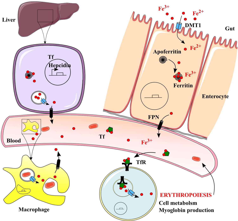 Mining ferritin iron: 2 pathways | Blood Journal