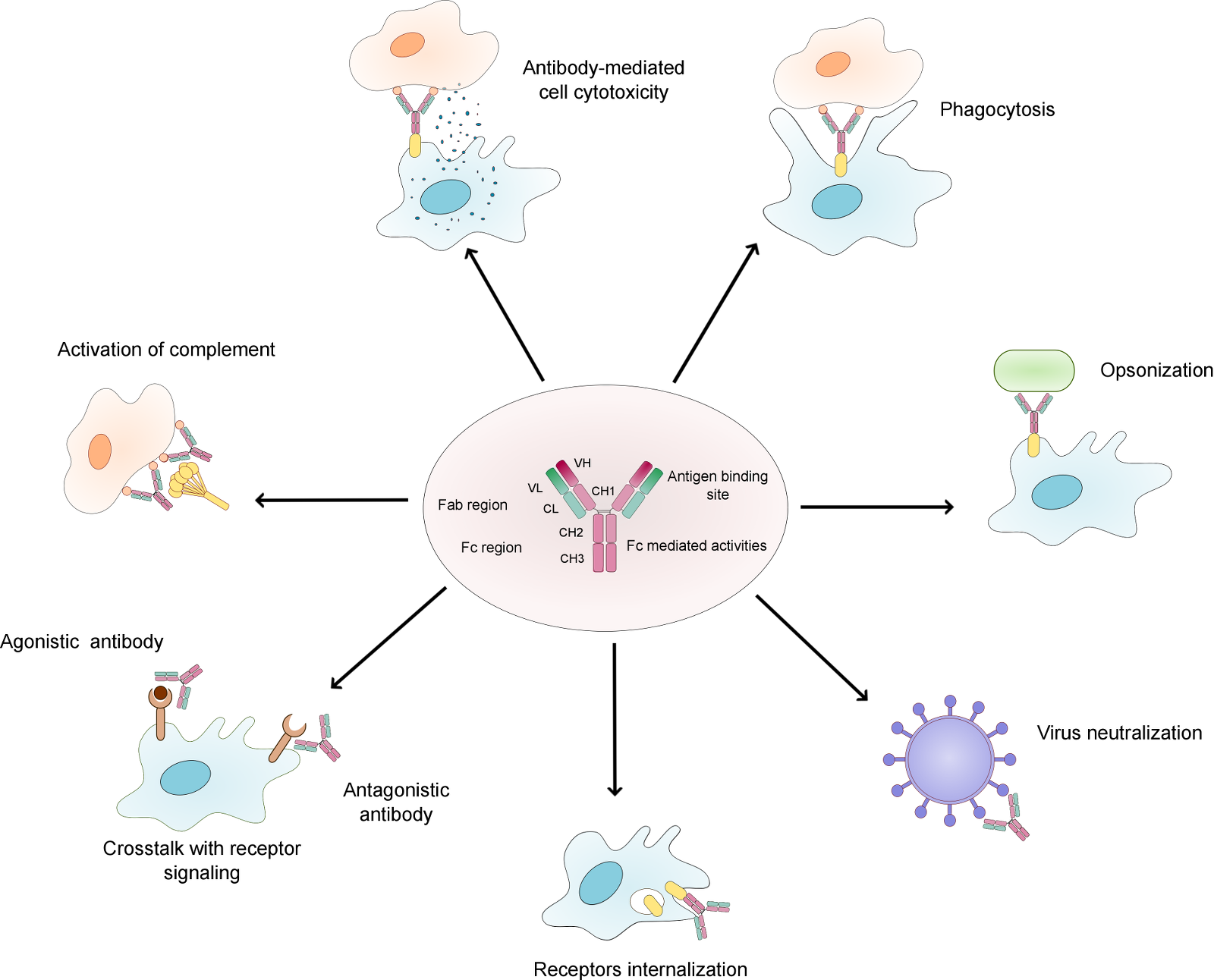 essay on effector functions of antibodies Engineering of fragment crystallizable (fc) domains of therapeutic immunoglobulin (igg) antibodies to eliminate their immune effector functions while retaining other fc characteristics has numerous applications, including blocking antigens on fc gamma (fcγ) receptor-expressing immune cells.