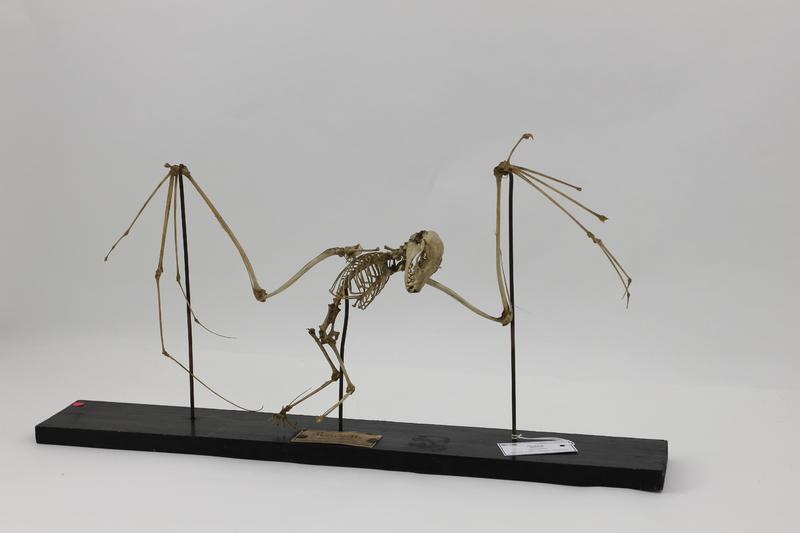Squelette de roussette (Pteropus spp.)