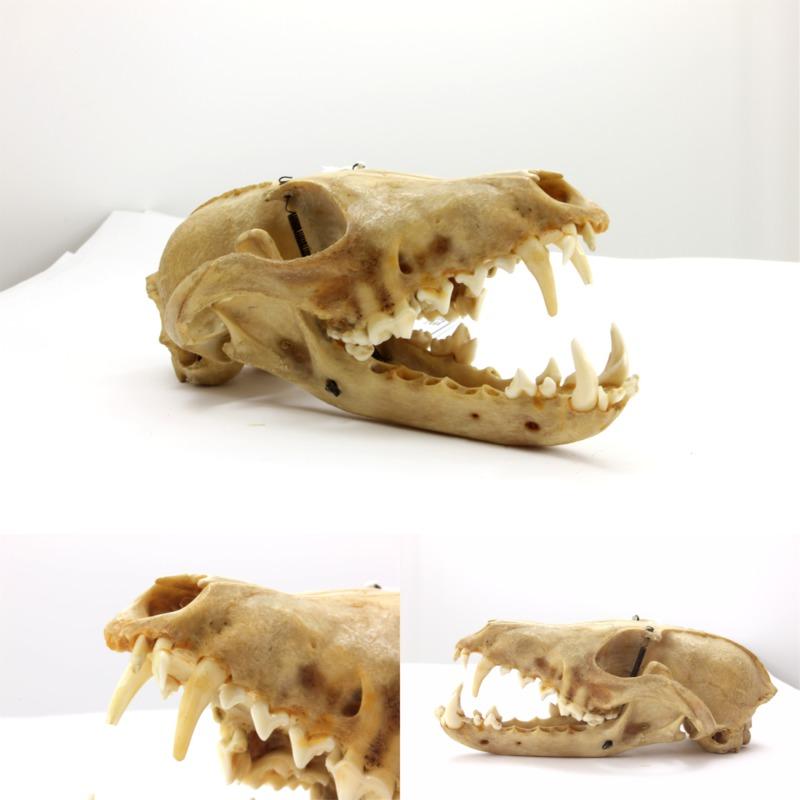 Image de crâne de chien